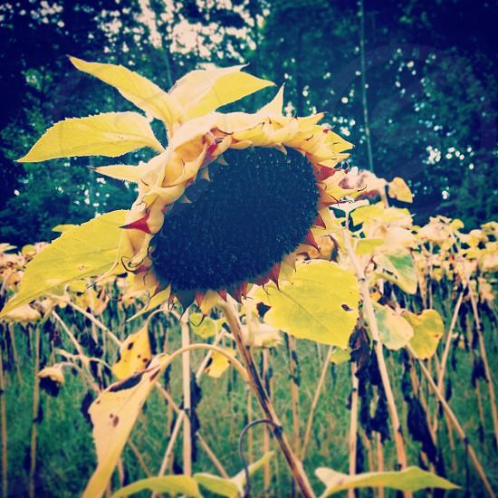 yellow sunflower photo
