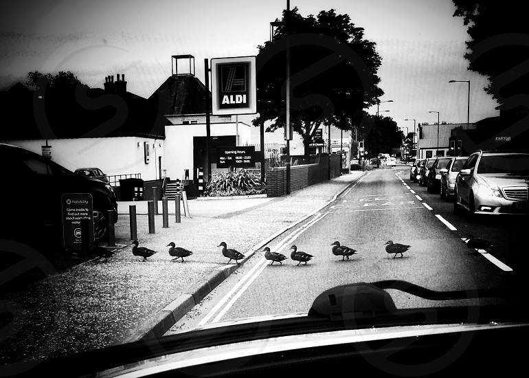 Ducks crossing road traffic stopped stand still row line formation black and white  photo