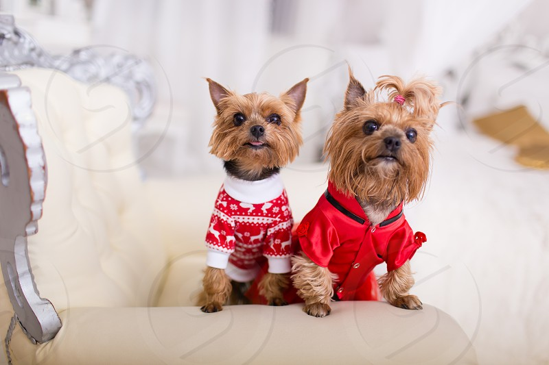 happy holidays Yorkshire terrier photo