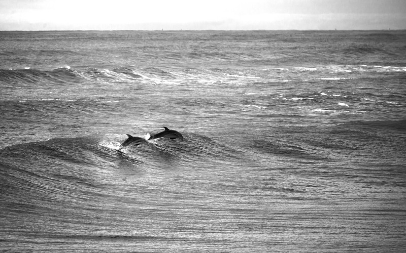 A pair of Dolphins playing in the waves at Daytona Beach Florida photo