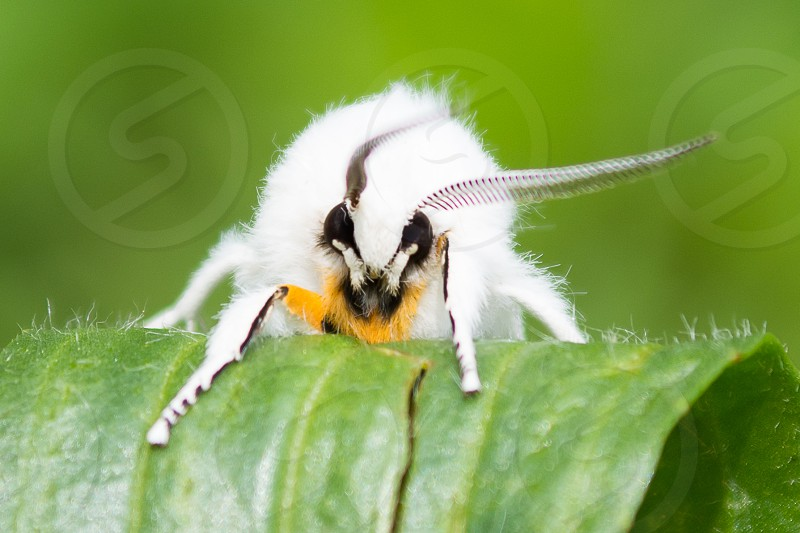 Venezuelan poodle moth perched on green leaf macro photography during daytime photo