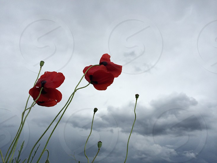 2 red flowers photo