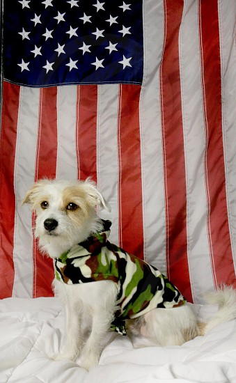 u.s. flag with dog wearing camouflage outfit photo