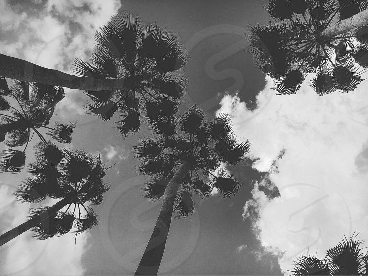 Palm Palm trees trees vacation Florida black and white black white palms  photo