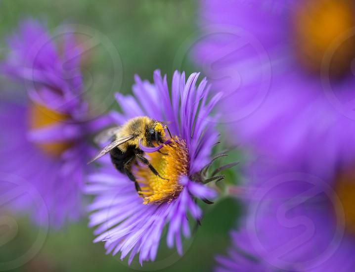 Feeding bumble bee photo