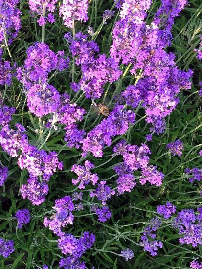 Honey bee lavender photo