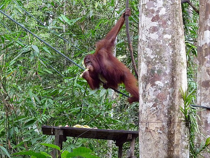 orangutan eating something and the other hand holding on the black rope in the forest during daytime photo