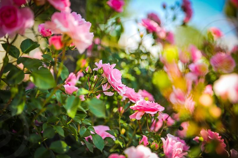 pink roses macro photography photo