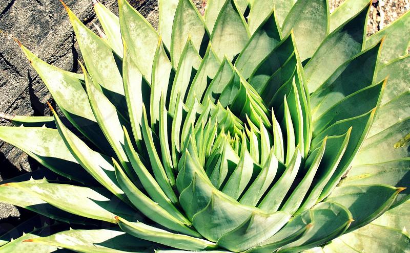 Succulent closeup photo