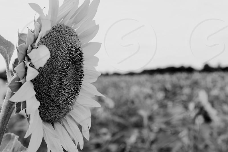 Nature; sunflowers;outdoors; landscape; summer photo