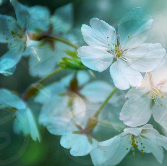white stephanotis flower photo