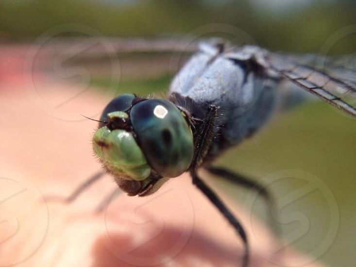 black and green dragonfly macro photography photo