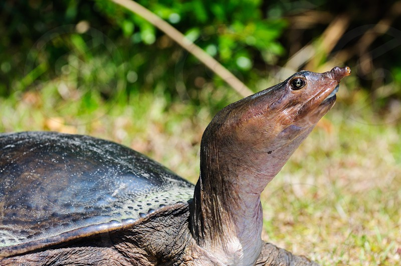 A soft shell turtle in the Florida everglades. photo