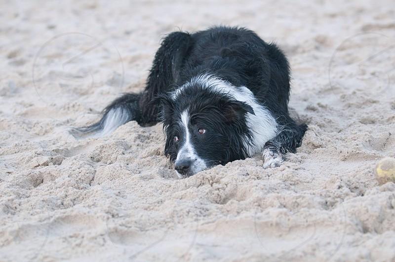 black and white collie dog photo