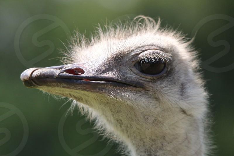 ostrich face photo