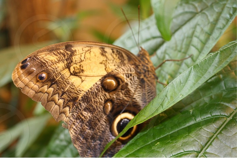 common buckeye butterfly macro photography photo