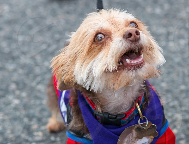 Small Mixed Breed Terrier wearing a blue and red team sweater at a charity walk selective focus photo