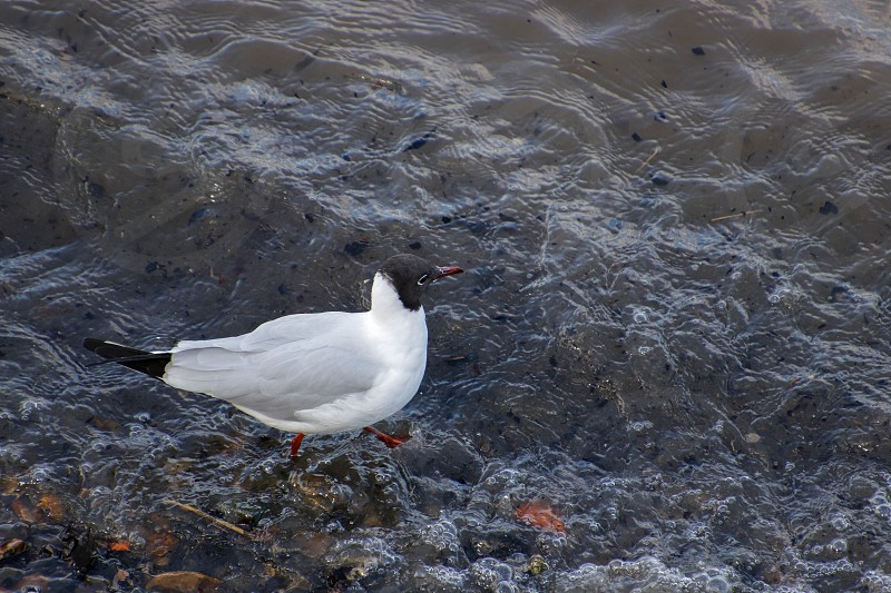 Black-headed Gull Wading along the River Thames photo