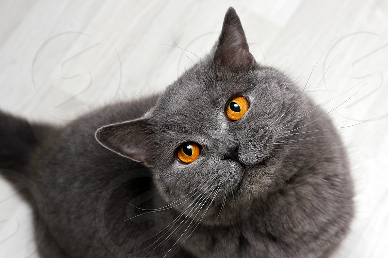 A British cat is smiling on you. Looking up and looking very happy and satisfied.  photo