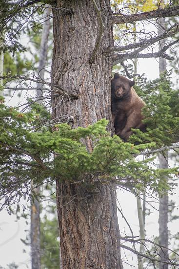 American Black Bear (Ursus americanus) is climbing a tree in Jasper National Park. Alberta. Canada photo