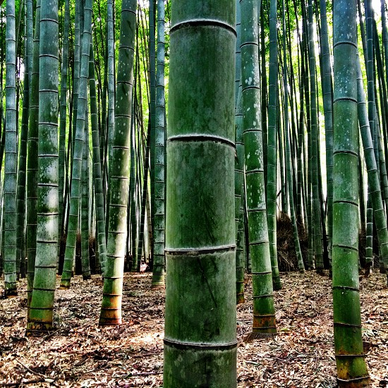 Bamboo grove... photo