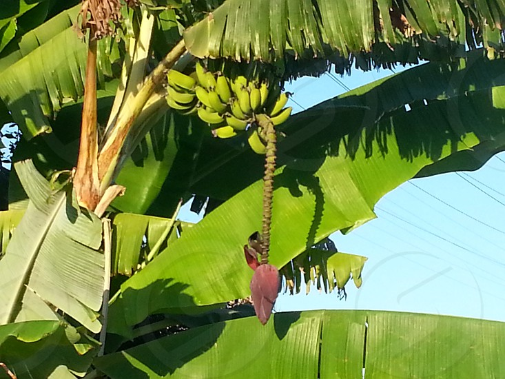 green banana with banana blossom photo