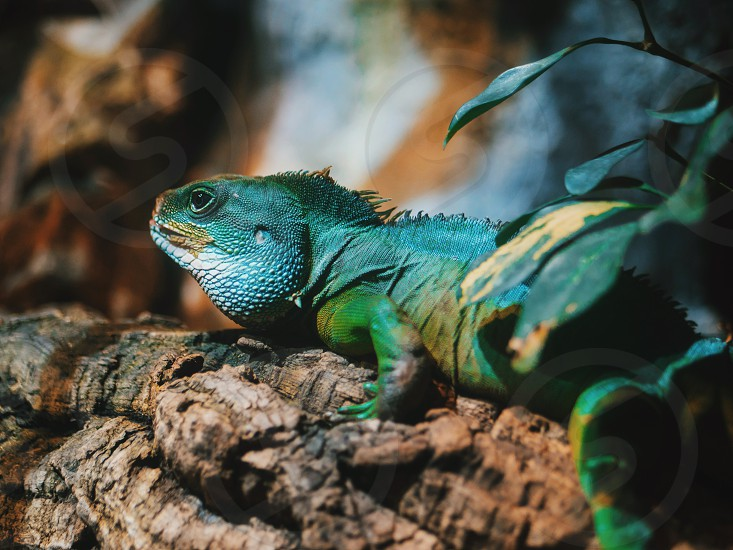 Close-up of Reptile Young Green Iguana in terrarium sitting on wood branch photo