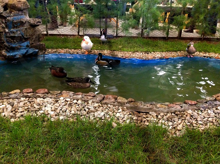 three brown-and-black ducks on body of water in front of fence photo