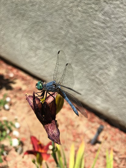Blue dragon fly photo
