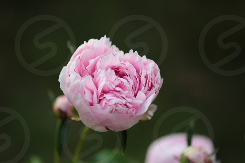 Pink Peony backyard spring photo