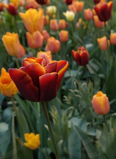 Beautiful tulipsflowers photo