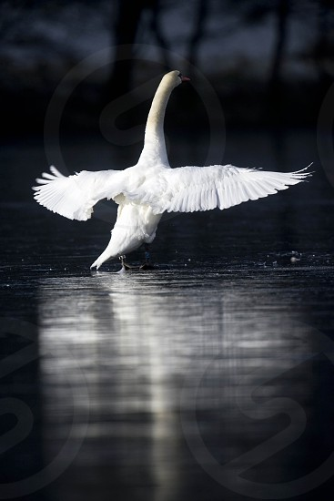 A Swan stretches it's wings on a frozen lake in Talley Abbey Mid Wales. photo