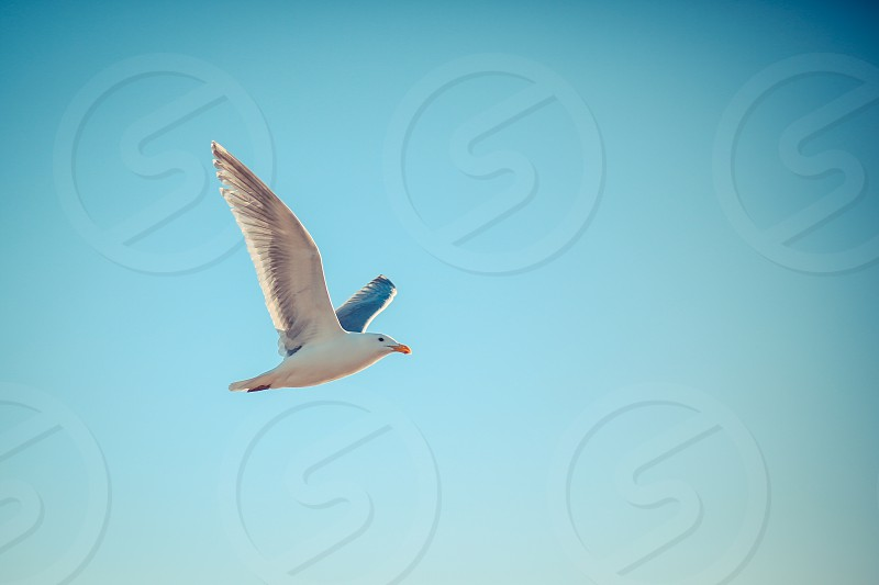 air animal background bird blue cloud down feather flight fly free freedom gull nature sea seagull sky soar spread white wild wildlife wing photo