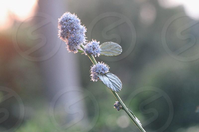 Purple ball flower stem photo