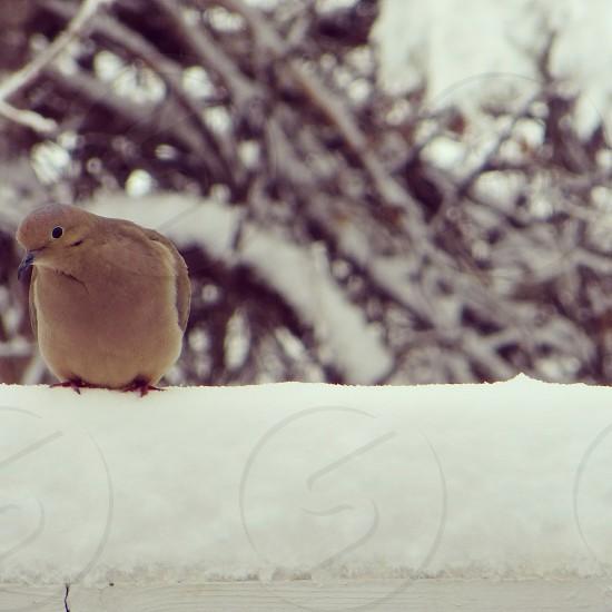 Winter Dove photo