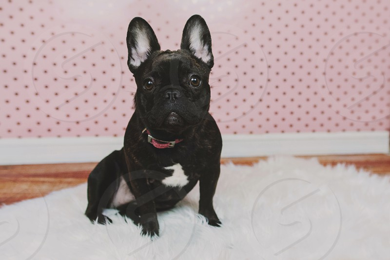 french bulldog puppy with heart bandana accessory on a fuzzy rug  photo