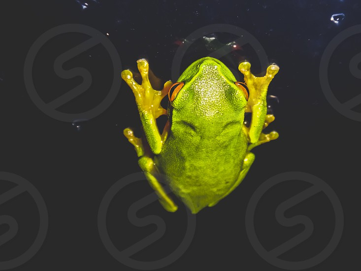 green tree frog at night sitting on a glass screen photo
