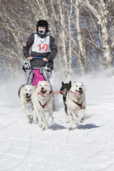 PETROPAVLOVSK-KAMCHATSKY KAMCHATKA PENINSULA RUSSIA - FEBRUARY 23 2017: Kamchatka Kids Competitions Sled Dog Race Dyulin (Beringia). Runs dog sled young Kamchatka musher Popova Elizabeth. photo