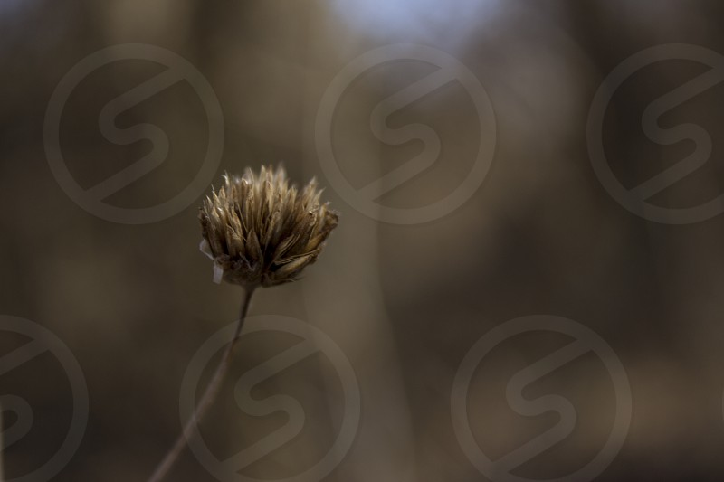 A single dead flower. photo