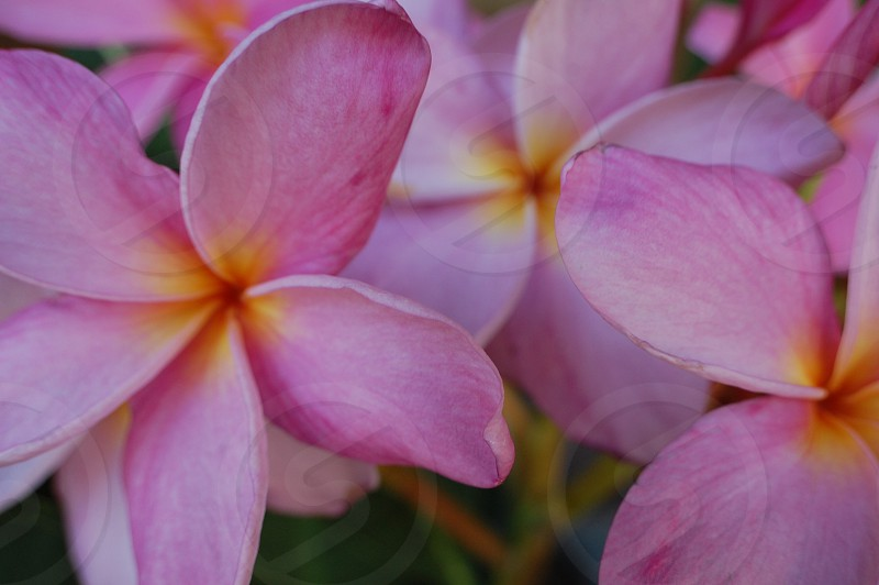Flowers plumeria tropical plant garden blossom pink photo
