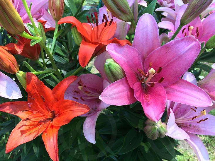 Lilies in full bloom photo