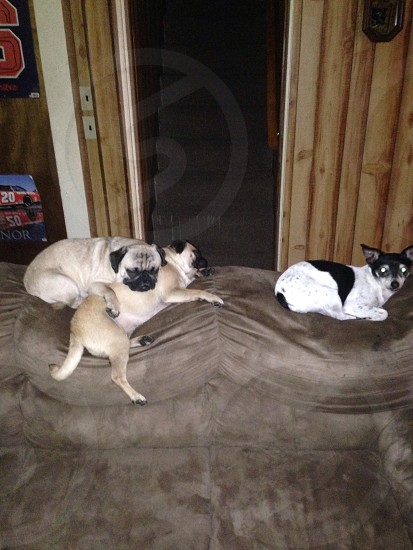 Some of my pets. Pugs photo