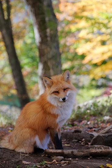 Red fox in the autumn woods.  Zao Fox Village Miyagi Japan. photo