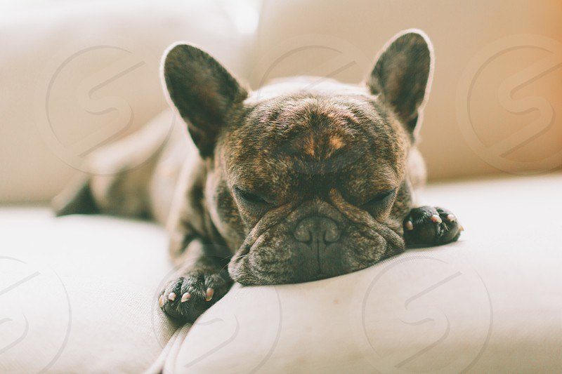 A french bulldog sleeping on the couch. photo