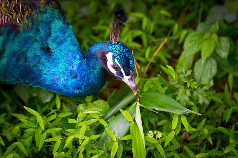 Peacock China photo