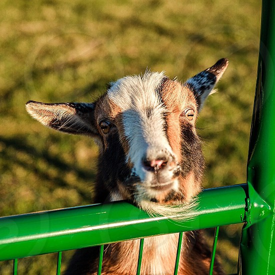 #farm #goats photo