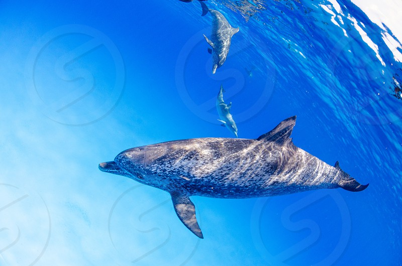 A group of atlantic spotted dolphins. photo