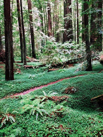Redwood forest green path photo