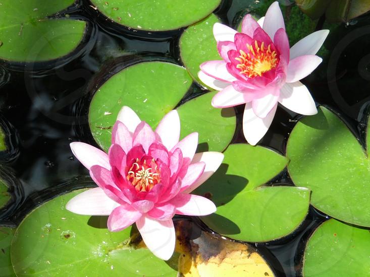 Pond lillies photo