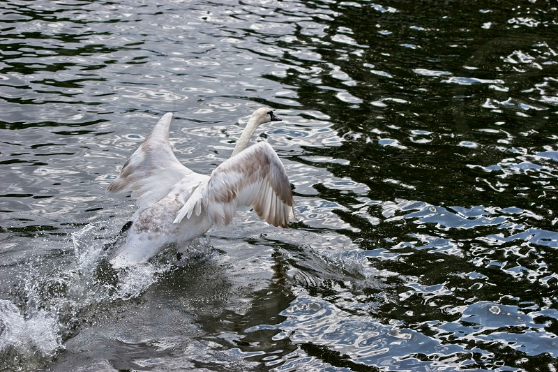 Mute Swan (cygnus olor) taking off on the River Thames photo